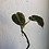 "Thumbnail: Philodendron Melanochrysum in 5"" concret pot"