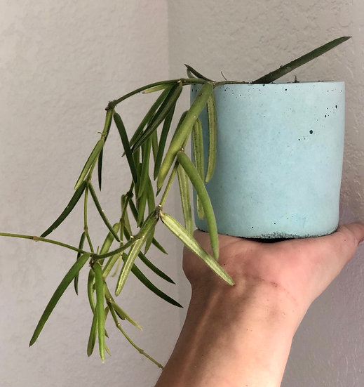 """E. Stassney Pickup: Hoya Linearis in 3"""" aqua cement with tray"""