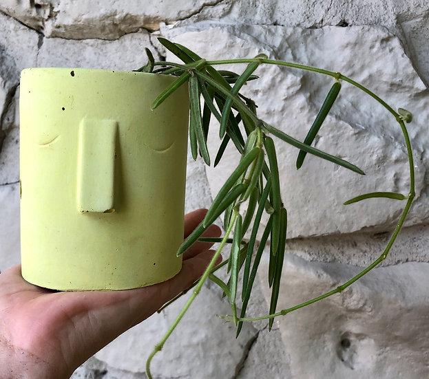 "E. Stassney Pickup: Hoya Linearis in 3.5"" ""citrus yellow"" face planter/tray"