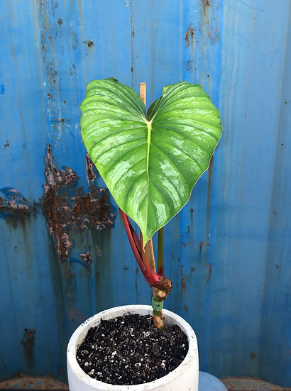 """Philodendron Plowmanii in 6"""" Cement"""