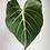 """Thumbnail: Philodendron gloriosum in 4"""" nursery pot"""