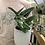 "Thumbnail: Monstera Standleyana in 6"" concrete planter"