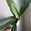 "Thumbnail: Philodendron  linnaei in 6"" ceramic planter"