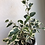"Thumbnail: Variegated ficus Benjamina in 4.5"" concrete planter"