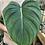 "Thumbnail: Medium size Philodendron Pastazanum in 6"" concrete planter"