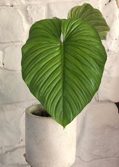 "Philodendron Plowmanii Round in 7"" cement"