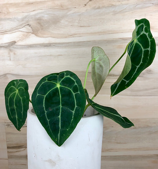 """Anthurium Forgettii Silver in 6"""" cement"""