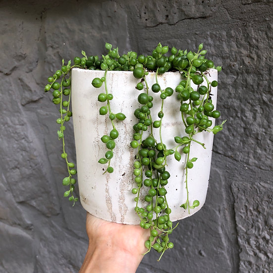 """Mueller Pickup: String of Pearls in 6"""" Cement"""