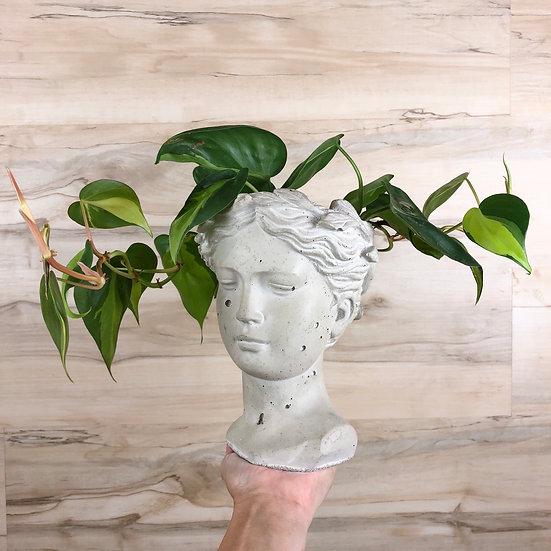 Philodendron Brasil in Medium Goddess