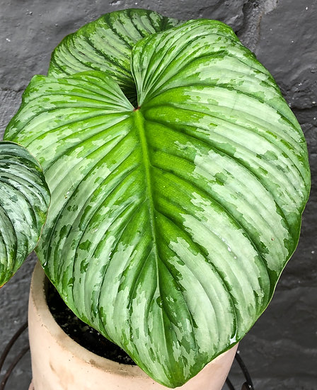 """Mueller Pickup: Philodendron Mamei in 7"""" pink cement"""