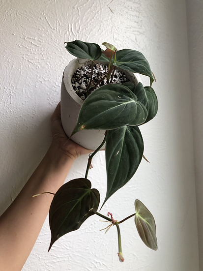 """Philodendron micans in 5"""" concrete pot"""