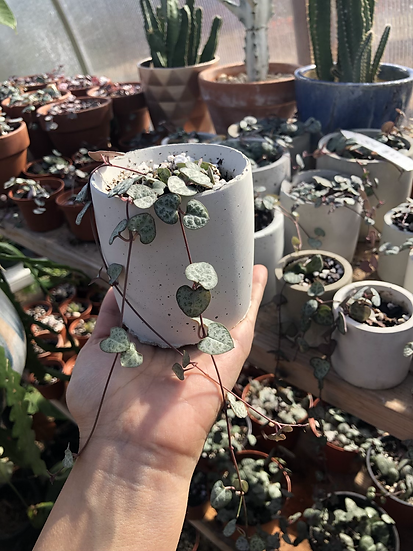 """String of hearts in 3"""" concrete planter"""