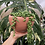 """Thumbnail: String of pearls in 6"""" ceramic planter"""