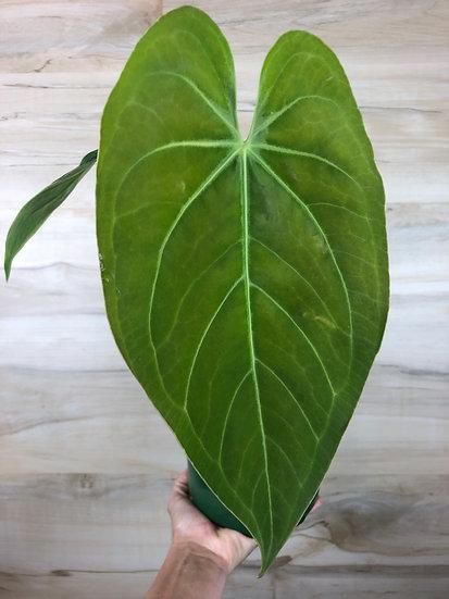 """Anthurium Magnificum Verde in 6"""" nursery pot"""