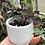 "Thumbnail: Anoectochilus Chapaensis jewel orchid in 3"" tulip concrete planter"