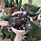 """Thumbnail: Large philodendron pink princess in 6"""" pink tribal planter"""
