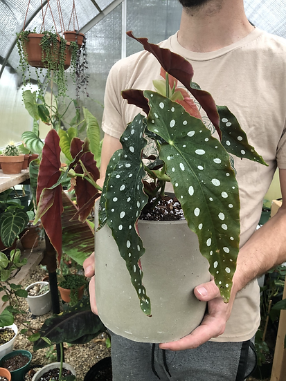 "Begonia maculata in 7"" concrete planter"