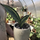 """Thumbnail: Variegated Whale fin in 6"""" concrete planter"""