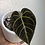 "Thumbnail: Anthurium Regale in 3.5"" concrete planter"