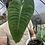 "Thumbnail: Anthurium veitchii in 7"" concrete planter"