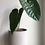 "Thumbnail: Anthurium Veitchiii 6"" concrete planter"
