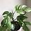 "Thumbnail: Rhaphidophora Tetrasperma in 6""concrete planter"