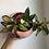 "Thumbnail: Hoya Princess in 6"" ceramic planter"