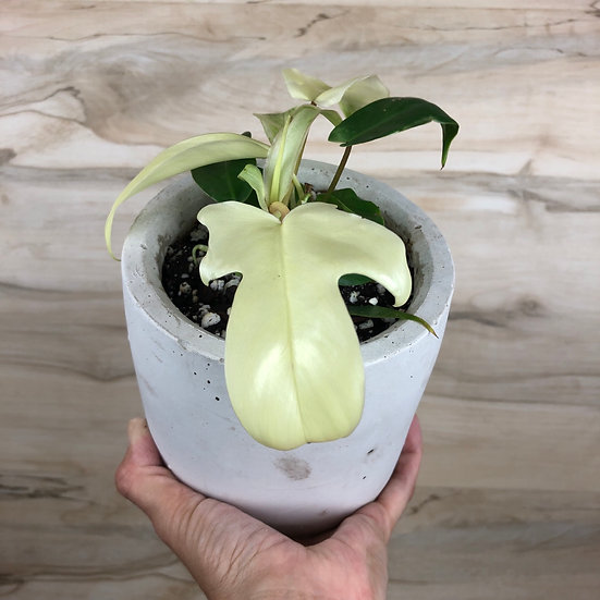 """Philodendron Florida Ghost """"White"""" in 5"""" cement"""