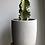 "Thumbnail: Variegated Euphorbia Ammak in 6"" concrete planter"