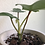 """Thumbnail: Philodendron Florida Ghost in 4"""" concrete planter"""