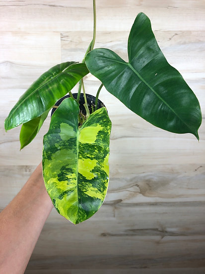 """Philodendron Burle Marx Variegated in 4.5"""" nursery pot"""