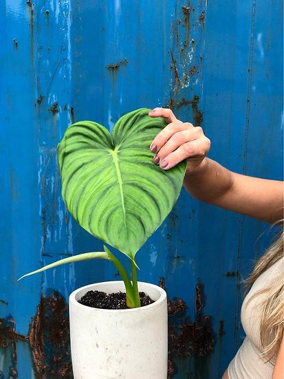 "E. Stassney Pickup: Philodendron Pastazanum in 6"" cement"