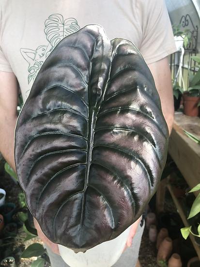 """Large Alocasia Cuprea in 6"""" concrete planter"""