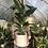 """Thumbnail: White bird of paradise in 9"""" concrete planter"""