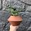 """Thumbnail: Pilea Peperomioides in 4"""" diamond pot"""