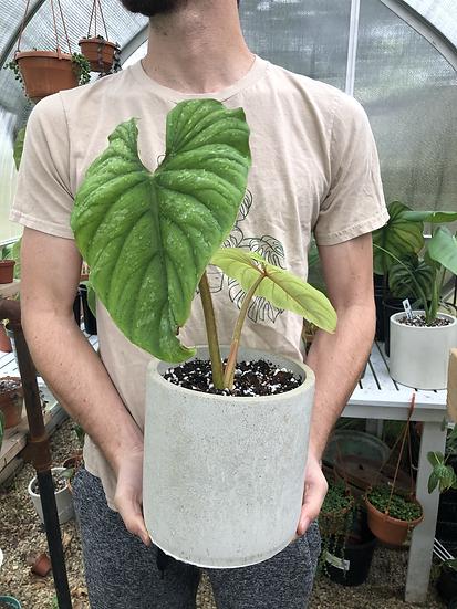 """Philodendron Mamei in 7"""" concrete planter"""