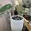 "Thumbnail: Anthurium Magnificum verde in 6"" concrete planter"