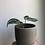 "Thumbnail: Anthurium Crystallinum in 4""concrete planter"