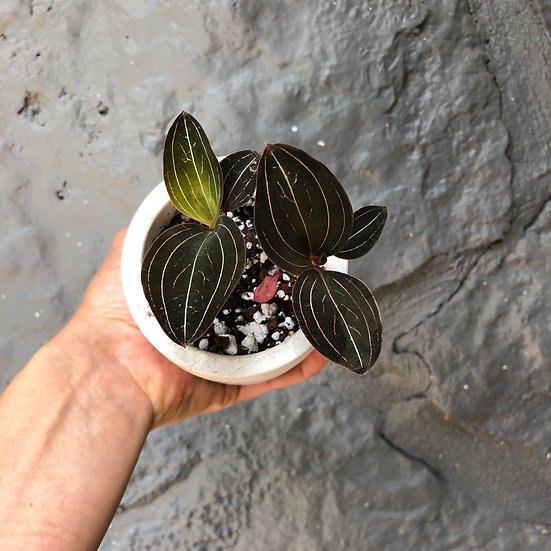 """Mueller Pick Up: Jewel Orchid 3"""" cement"""