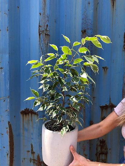 """Ficus Benjamina in 8"""" cement"""
