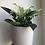 "Thumbnail: Philodendron Birkin in 6"" concrete planter"