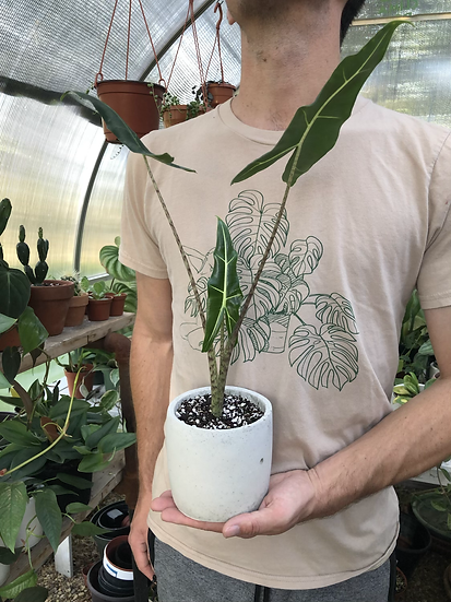 """Alocasia sarian in 5"""" concrete planter"""