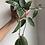 "Thumbnail: Trailing Hoya Macrophylla in ceramic 6"" pot"