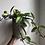 "Thumbnail: Hoya krimson Princess in 6"" concrete planter"