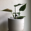 "Thumbnail: Philodendron camposportoanum in 4.5"" concrete planter"