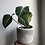 "Thumbnail: Philodendron Gloriosum dark form in 5"" tribal pot"