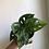 "Thumbnail: Monstera Adansonii in 4.5"" concrete planter"