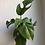 "Thumbnail: Rhaphidophora tetrasperma in 4.5"" concrete planter"