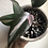 """Thumbnail: Philodendron Pink Princess in 5"""" concrete planter"""