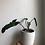 "Thumbnail: Philodendron atabapoense in 5"" concrete pot"